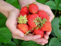Foto von zwei Händen voll frisch gepflückter Erdbeeren